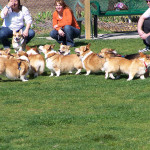Our Corgi meetup. One of many meetups we have in our park.