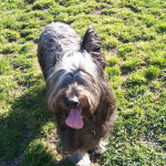 Taquine the french briard.
