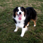 Tory the Australian Shepherd
