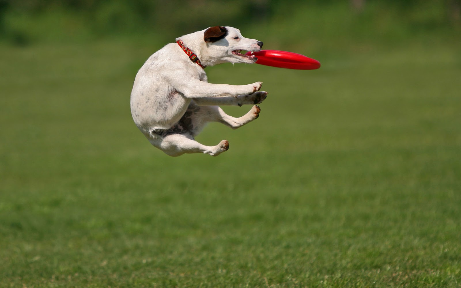 Dog Playing And Catching A Frisbee Hd Animal Wallpaper Dogs Fordog